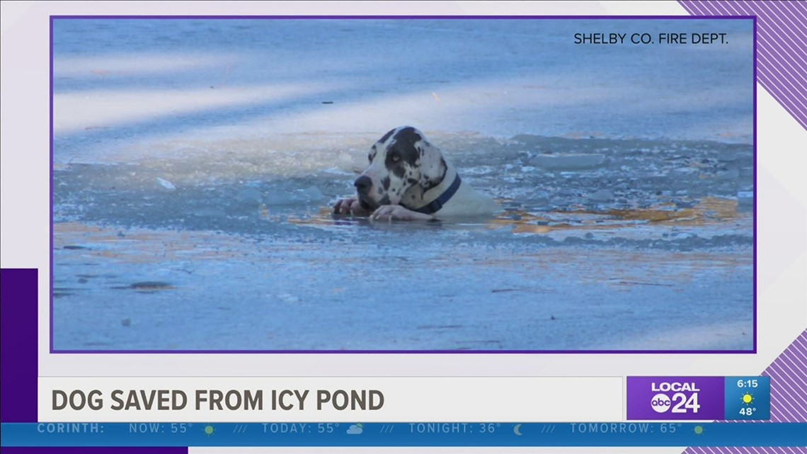 Shelby County firefighters save Great Dane that fell into icy pond