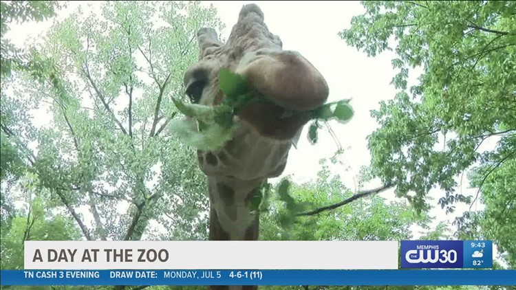 It's hot, but at the Memphis Zoo it's not unbearable