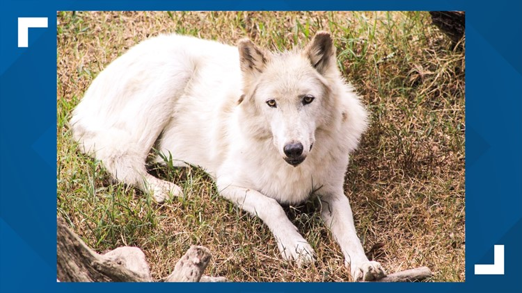 Shiloh the timber wolf at Memphis Zoo has died