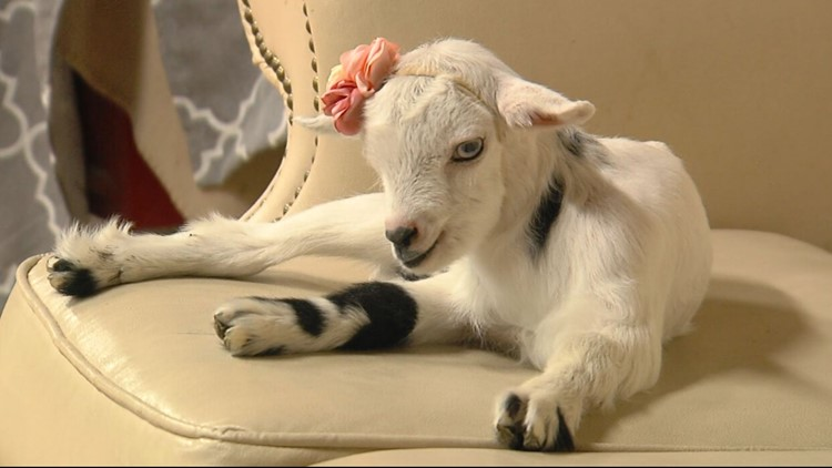 'Adorable goat snuggles' isn't the name of an 80s punk band; you can literally snuggle with adorable goats