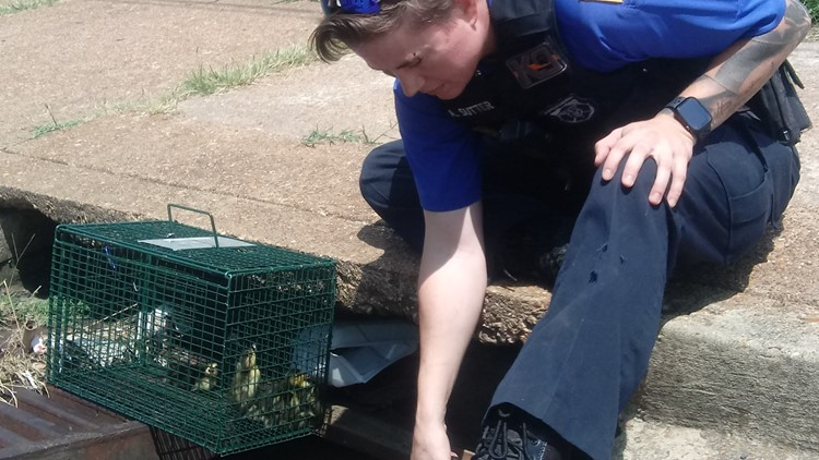 Ducklings rescued from storm drain in downtown Memphis