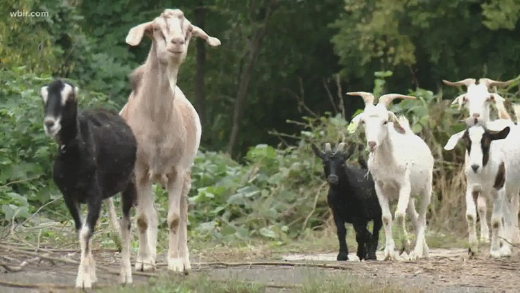 Kudzu got your goat? | Herd of goats headed to Tennessee college to clear kudzu ahead of homecoming