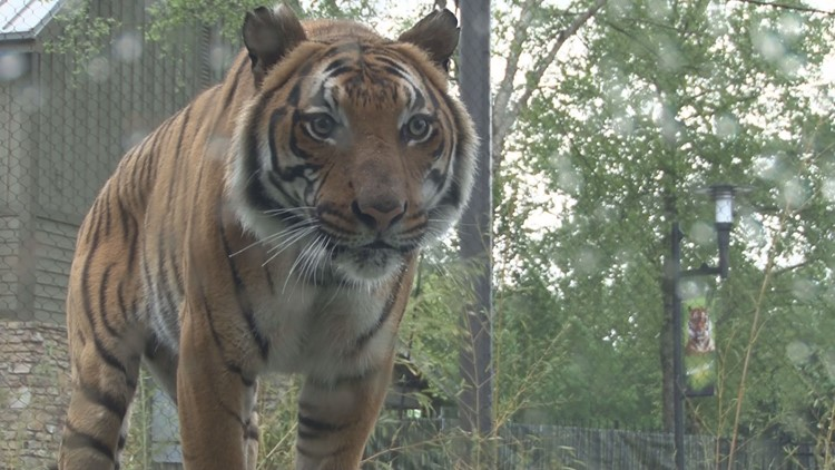 Zoo Knoxville tigers enjoy the sunshine again after fully recovering from COVID-19 virus