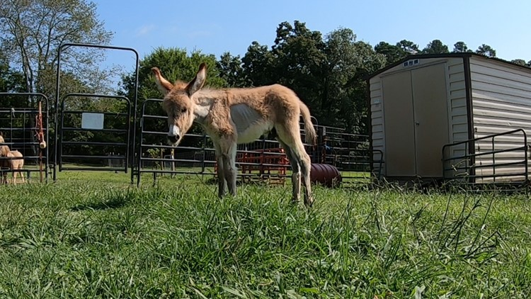 Pimento the donkey continues to grow at East Tennessee rescue