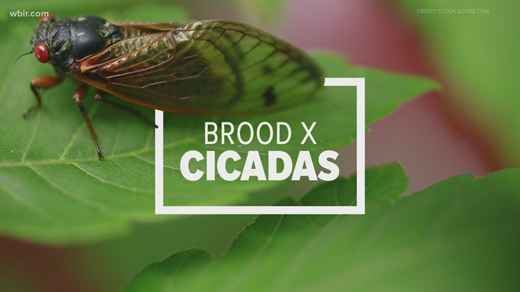Return of the cicadas | How Brood X will impact your yard, ears and life this spring