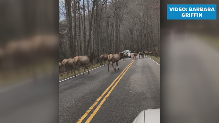 Exciting traffic jam: Watch a massive herd of 30+ elk cross the road in the Smoky Mountains