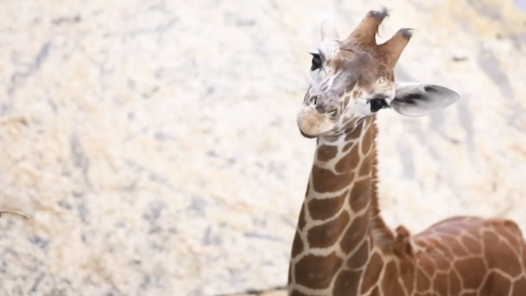 Bea the Giraffe, born at Zoo Knoxville, will soon be moving to a new home
