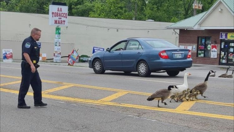 Forget the chicken... why did the geese cross the street? KPD officer helps feathered friends waddle to safety
