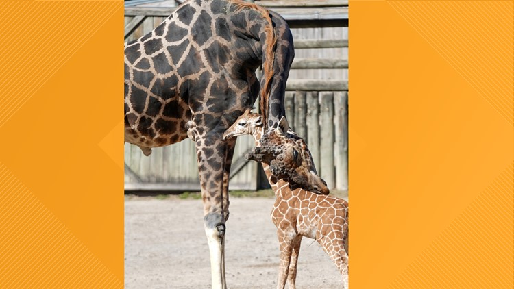 Meet J.J.! Zoo Knoxville names its baby giraffe with the public's help