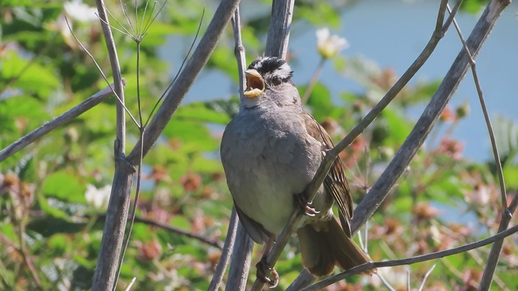 Birds sang softer, but sounded louder, during COVID-19 pandemic shutdown