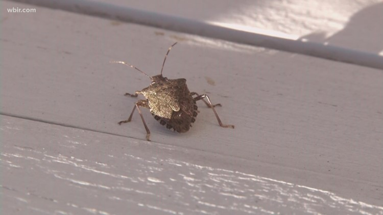 Stink bug season is here! If you see one inside your home: Don't crush it!