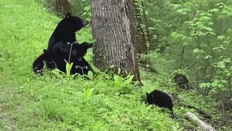 Bears! Bears! Bears! | Gatlinburg officials urge safety after several bear sightings