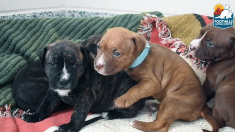 Rescued Pitbull leads Colorado animal shelter to missing 3-week-old puppies