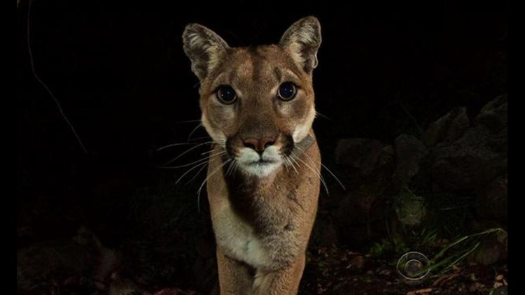 Rancher With Permit To Shoot Marauding Mountain Lion Doesn T Plan To Kill 10tv Com