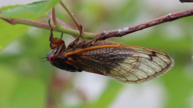 17 years later: What to expect from the Brood X Cicadas this year