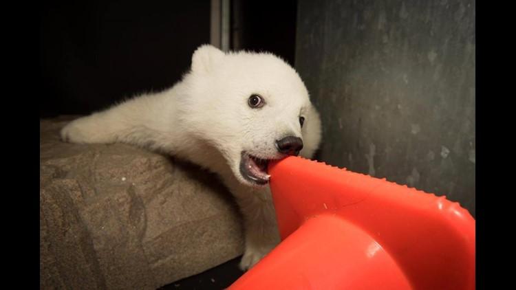 Columbus Zoo Shares Update Photos Of Baby Polar Bear 10tv Com