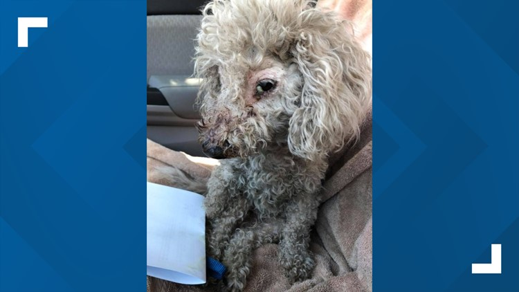 Poodle found hogtied inside plastic bag with mouth taped shut in Florida