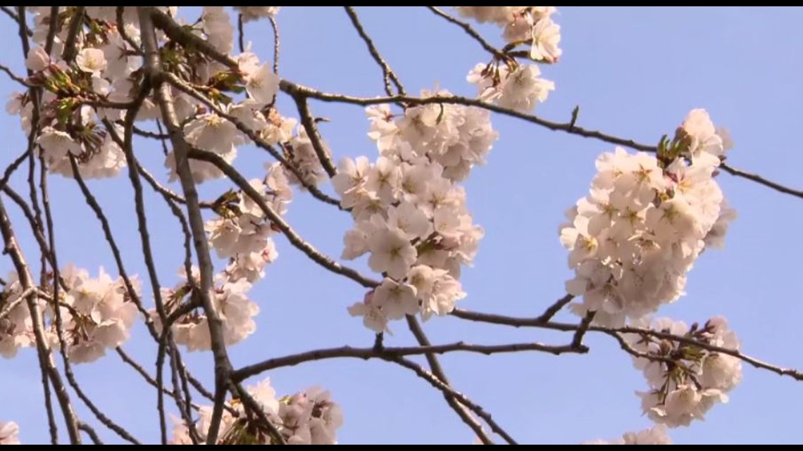 Cherry Blossoms In Central Ohio Will Soon Be In Bloom 10tv Com