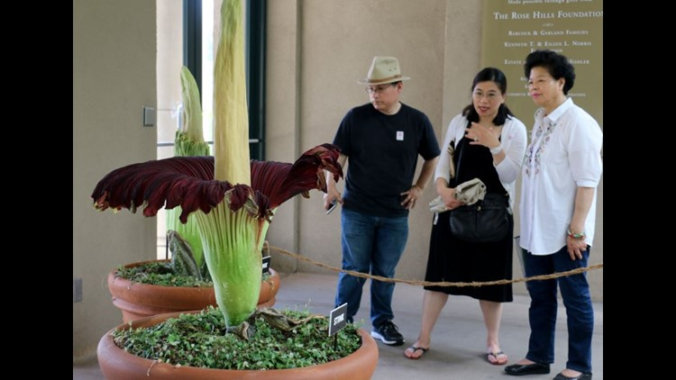 Stinky Corpse Flower In Full Bloom In California 10tv Com