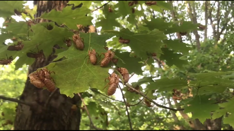 Dealing with Brood X; How to safely protect your trees & garden from cicadas