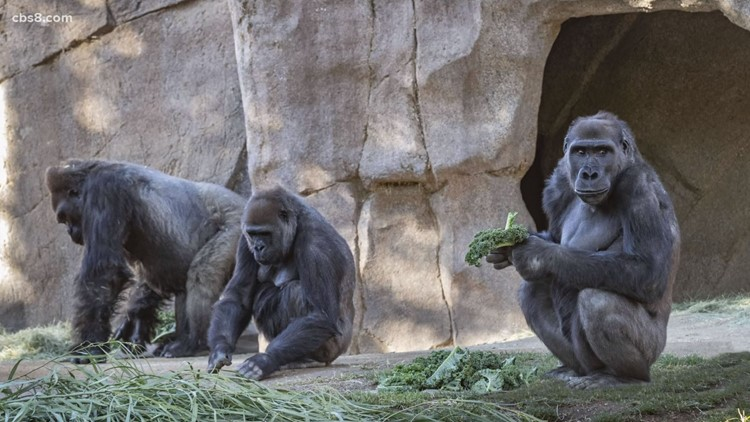 Great apes at the San Diego Zoo and Safari Park given vaccine after gorilla tested positive for COVID-19
