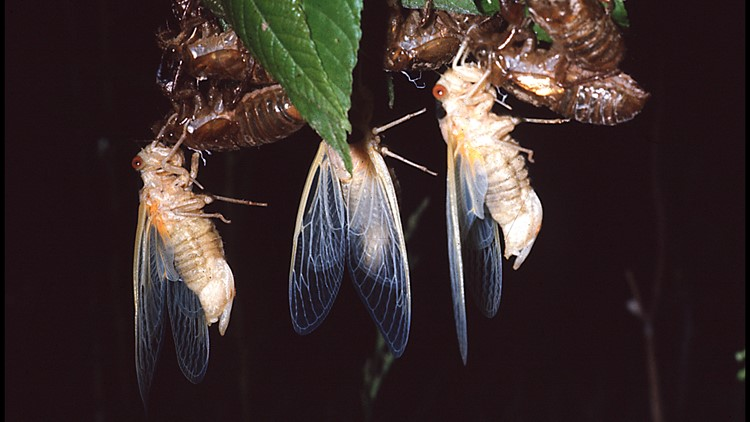 Bugging out over cicadas
