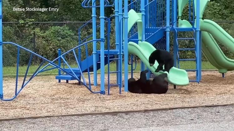 Bears seen playing on school playground