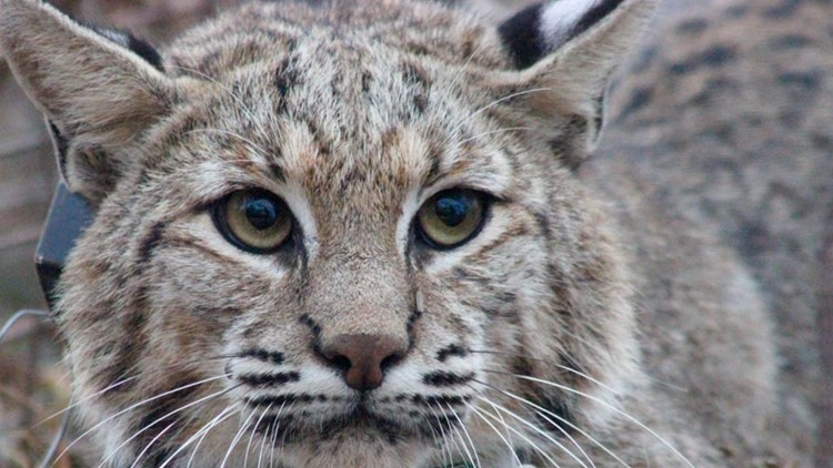 Bobcats in Illinois: Everything you need to know about the