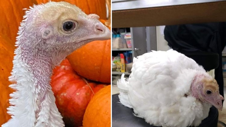 Two turkeys leap from transport truck, saved by North Carolina sanctuary on Thanksgiving