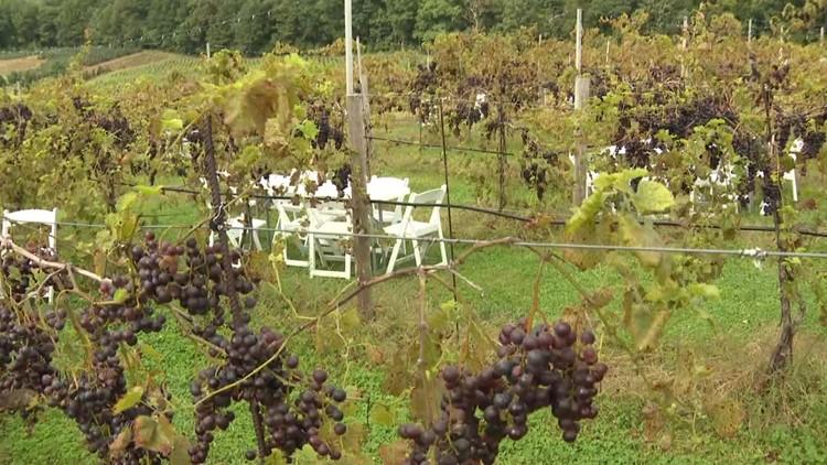 Rain didn't hurt vineyards in the Poconos