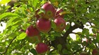 Warm Day Spent Apple Picking in Susquehanna County