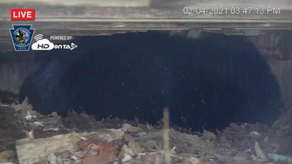 Live bear den camera returns in the Poconos