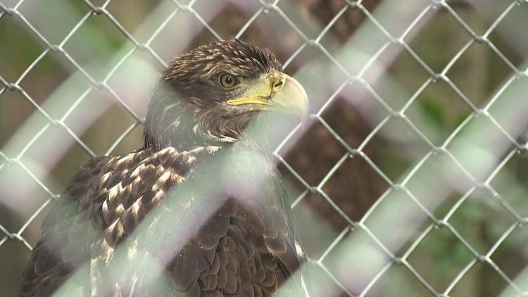 Snyder County wildlife refuge features bald eagle