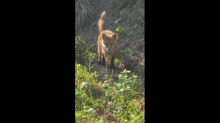 Kit fox hunting