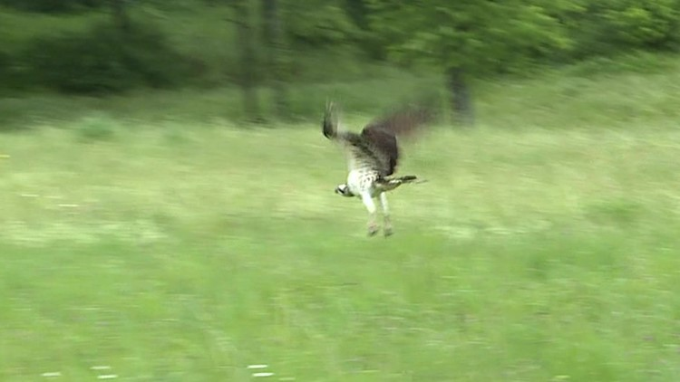 Recovered osprey released into the wild