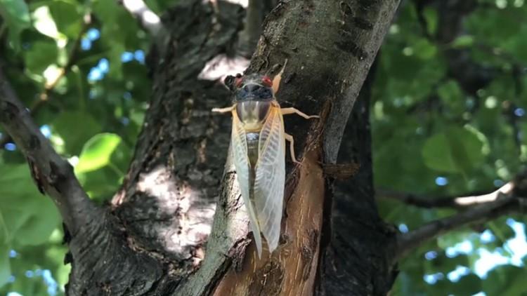 Wham Cam: Brood X cicadas