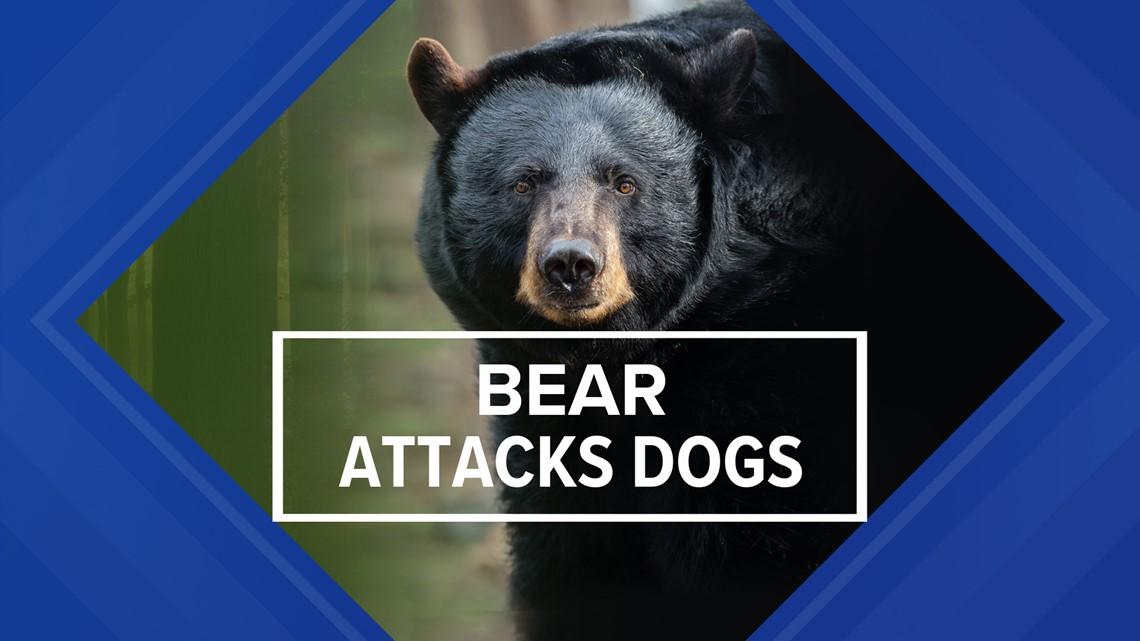 Bear attack injuring dogs caught on camera