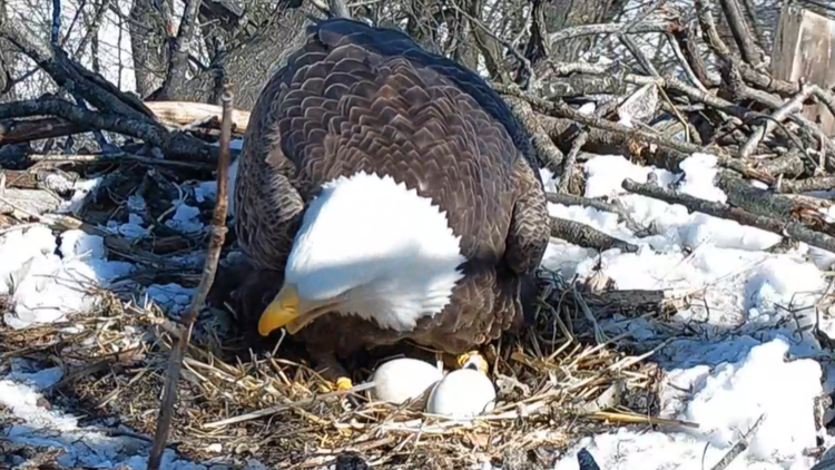 Watch Live: Hanover Bald Eagle Cam