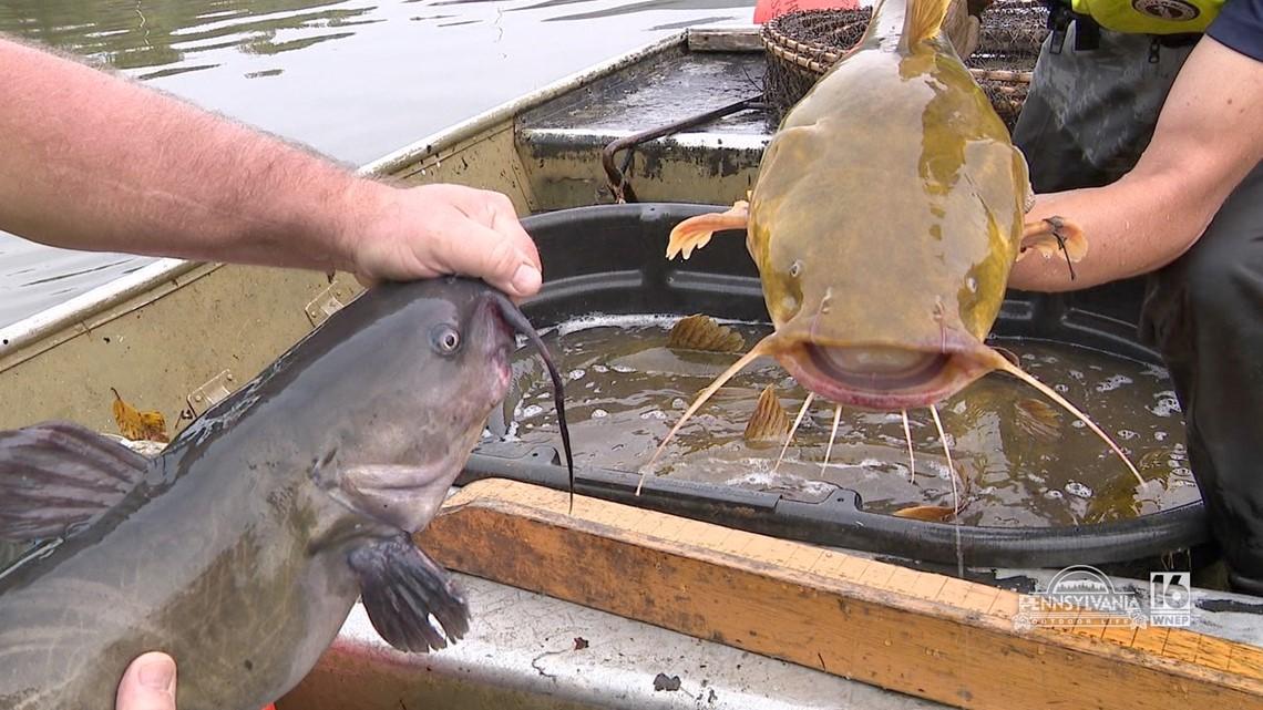 Susquehanna River Catfish Netting