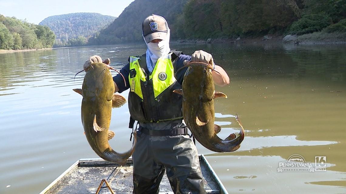 Flathead Catfish Explosion on the Susquehanna River