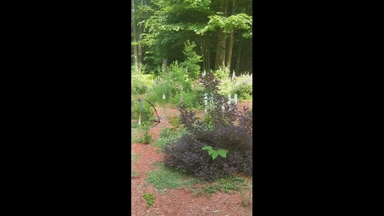Germaine Donahue's Laporte Flower Garden blooming!