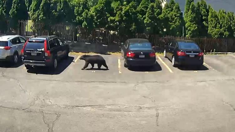 Bear spotted strolling through Scranton