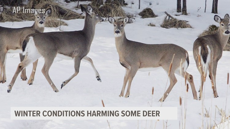Rough winter impacting survivability of some deer