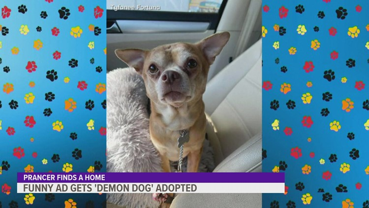 Prancer the 'demonic' Chihuahua finds his forever home