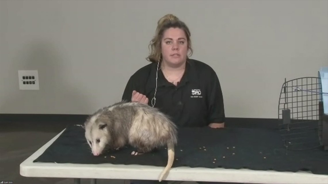 Meet the Blank Park Zoo's newest Ambassador, J.J., the only marsupial found in the United States!