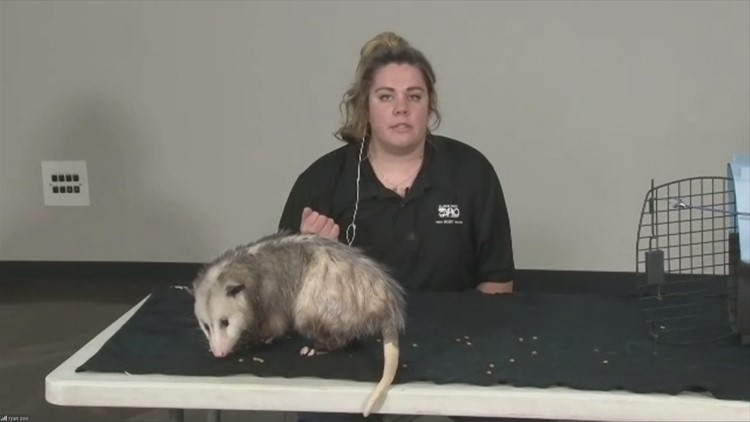 Is J.J. a Possum or Opossum at the Blank Park Zoo?