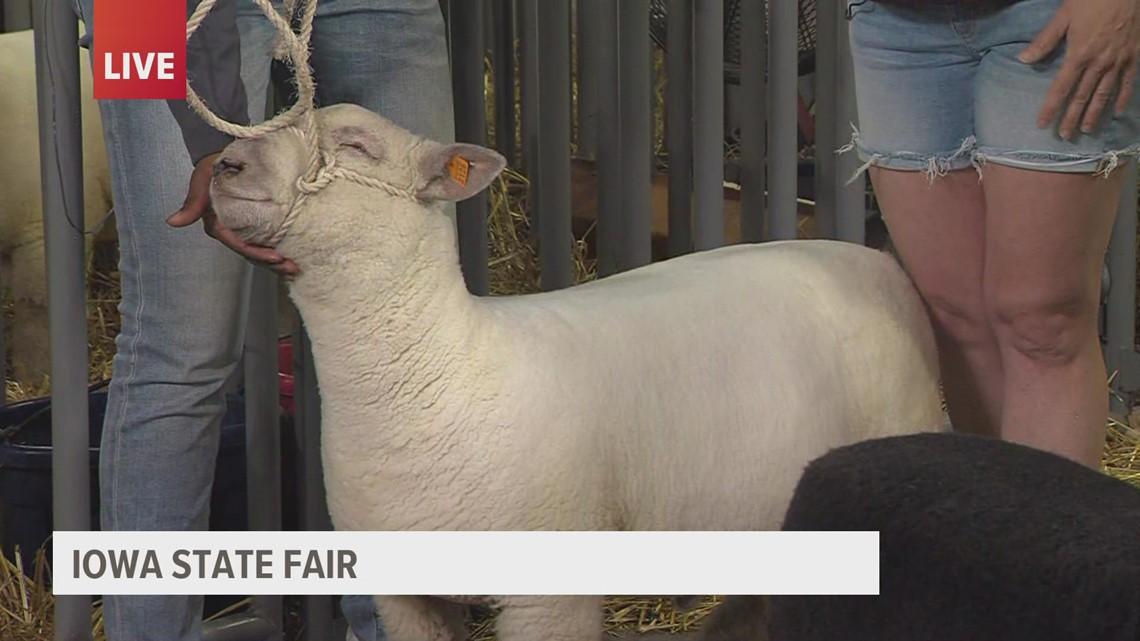 Babydoll sheep at the Iowa State Fair