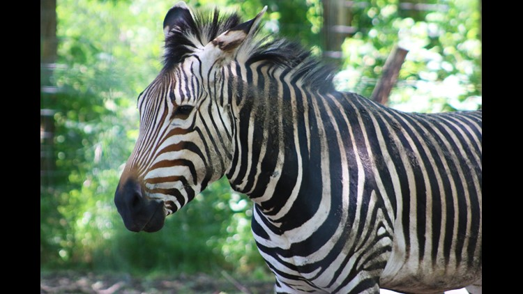 New at the Zoo: Zebra set to make its debut