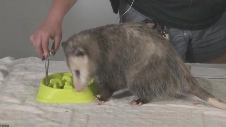 JJ the Opossum, naming of baby seal & Homeschool Safari at the Blank Park Zoo