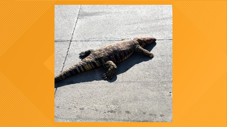 ARL rescues sunbathing 'alligator' from Des Moines parking lot